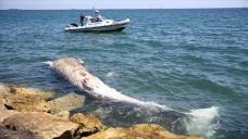 Mersin sahiline 14 metrelik oluklu balina vurdu